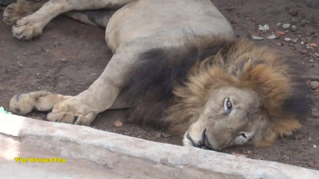 Juboraj il leone Bangladesh 2 1024x576 - Juborai e gli altri