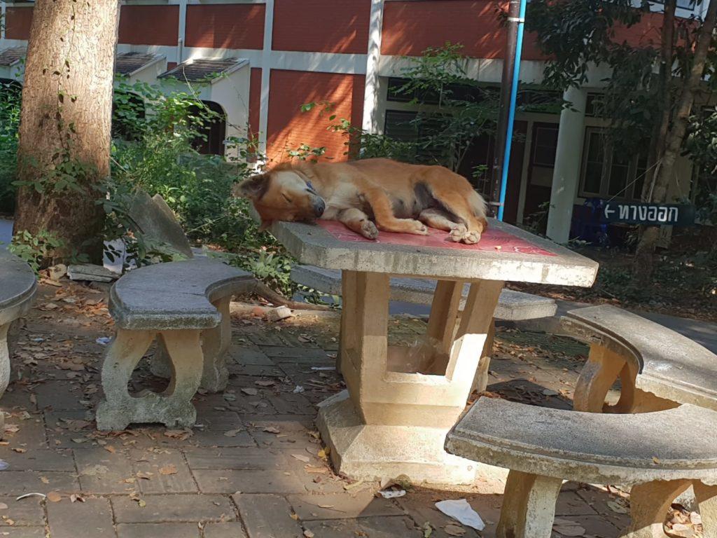 foto cane tavolo 1024x768 - Piccolo reportage sulla situazione degli animali in Thailandia - editoriali-