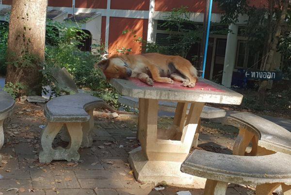 foto cane tavolo 600x403 - Piccolo reportage sulla situazione degli animali in Thailandia - editoriali-